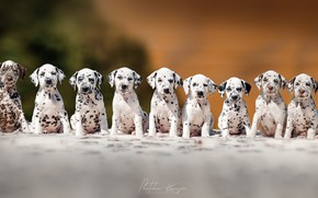 Picture puppies, breed, Dalmatians
