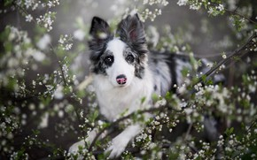 Picture portrait, dog, look, flowers, puppy, stand, nature, branches, face, motley, flowering, spring, the border collie, …