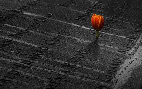 Picture memory, rain, Tulip, rain, memory, tulip, Ibrahim Nabeel