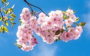 Picture light, flowers, cherry, beauty, branch, spring, Sakura, pink, flowering, a lot, blue sky, in bloom