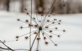 Picture winter, nature, stay, plant, walk, Hogweed