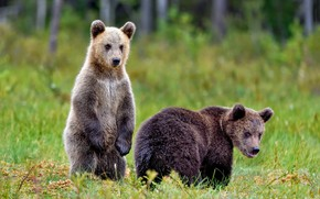 Picture grass, look, nature, pose, bear, bears, pair, bears, two, brown, two of the bear
