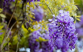 Picture greens, leaves, flowers, branches, nature, background, stems, foliage, color, beauty, spring, garden, flowering, cascade, lilac, …