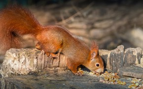 Picture photo, Protein, Stump, Nuts, Animal, Tail, Walnut
