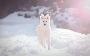 Picture winter, white, look, light, snow, trees, dog, track, the snow, puppy, is, face, snowfall, path, …