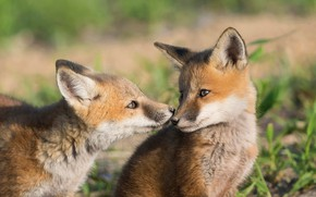 Picture nature, pair, two, Fox, Fox, cubs