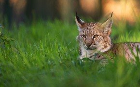 Picture summer, grass, look, face, nature, pose, lies, lynx
