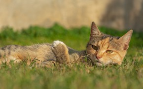 Picture cat, grass, cat, resting