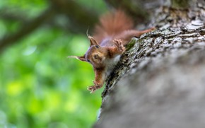 Picture nature, pose, tree, jump, protein, view, rodent
