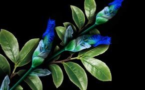 Picture blue, plant, petals, iris