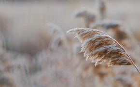 Picture cold, winter, frost, grass, snow, dawn, frost