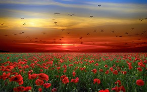 Picture sunset, flowers, birds, Maki, pack, the evening, poppy field