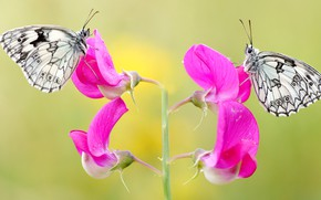 Picture macro, butterfly, flowers, insects, background, butterfly, two, pair, pink, a couple, Duo, sweet peas, two …