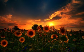Picture nature, sunset, sunflowers