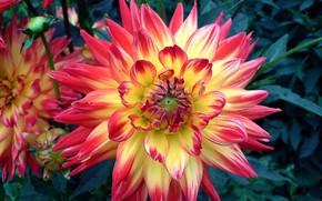 Picture bright, Beautiful, Dahlia, varietal