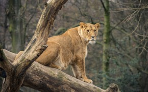 Picture look, nature, tree, lioness
