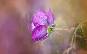 Picture drops, rose, insect, lilac