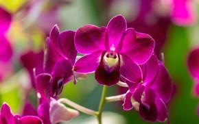 Picture nature, Orchid, flowers