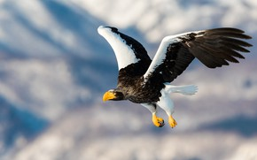 Picture flight, mountains, bird, eagle, wings, predator, eagle, flies, predatory, the scope, yellow beak