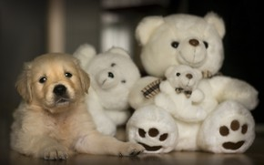 Picture toy, bear, puppy, Labrador