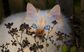 Picture cat, cat, look, leaves, kitty, Board, the fence, portrait, fluffy, red, kitty, blue eyes, face, …