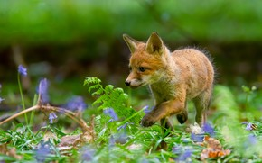 Picture grass, flowers, red, Fox, cub, bokeh, Fox