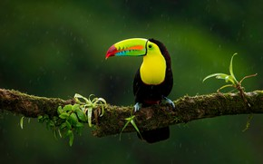 Picture the dark background, rain, bird, branch, Toucan