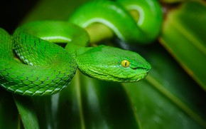 Picture nature, snake, black background, green