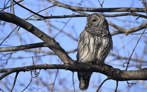 Picture branches, tree, owl, bird, blue sky, owl