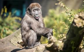 Picture monkey, zoo, Gorilla