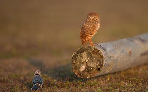Picture birds, owl, two, log, a couple, Jay, owl, two birds