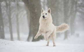 Picture winter, forest, snow, jump, dog, snowfall, Swiss shepherd dog