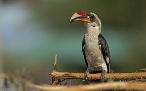 Picture branches, background, bird, Hornbill