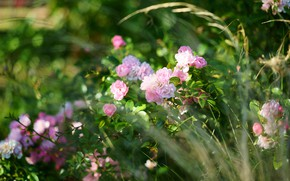 Picture grass, flowers, roses, garden, pink, bokeh, roses