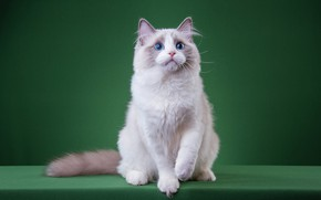 Picture cat, white, cat, look, pose, kitty, legs, muzzle, cute, kitty, blue eyes, sitting, green background, ...