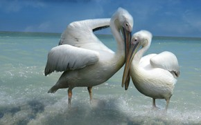 Wallpaper sea, the sky, love, birds, pose, background, two, pair, surf, weasel, white, lovers, two, pelicans
