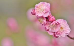 Picture sprig, background, Sakura, pink flowers