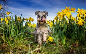 Picture language, the sky, grass, face, the sun, flowers, nature, wool, yellow, daffodils, Schnauzer
