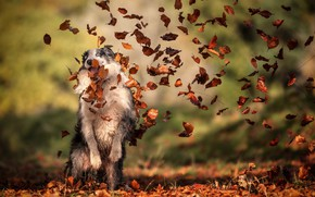 Picture autumn, leaves, each, dog