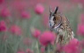 Picture flowers, owl, bird, bokeh, Long-eared owl