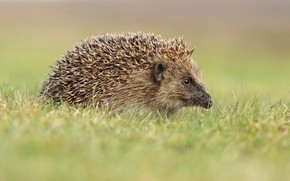 Picture grass, nature, background, hedgehog, hedgehog, hedgehog, hedgehog