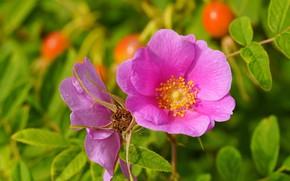 Picture flower, summer, Briar