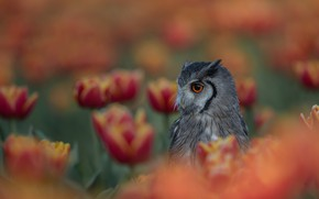 Picture flowers, owl, bird, bokeh, blany, White-faced scoop