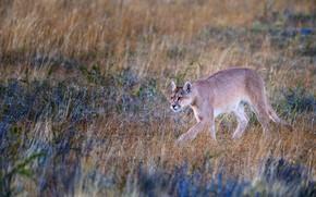 Picture field, grass, nature, walk, Puma, Cougar