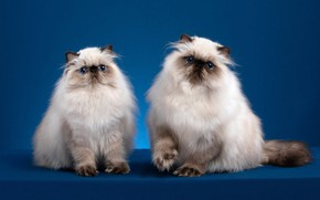 Picture look, cats, pose, background, muzzle, kittens, a couple, two, Studio, Persian, color-point