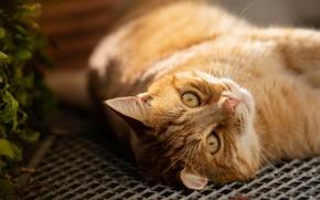 Picture cat, cat, look, face, mesh, portrait, grille, red, lies, bokeh