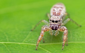 Picture macro, background, leaf, spider, green background, jumper, spider, arthropods, the Hoppy