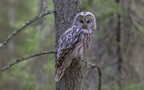 Picture look, branches, background, owl, bird, nastiti