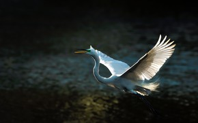 Picture light, flight, the dark background, bird, wings, feathers, white, Heron, the scope