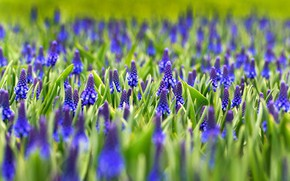 Picture greens, leaves, flowers, glade, spring, flowerbed, blue, a lot, lilac, Muscari